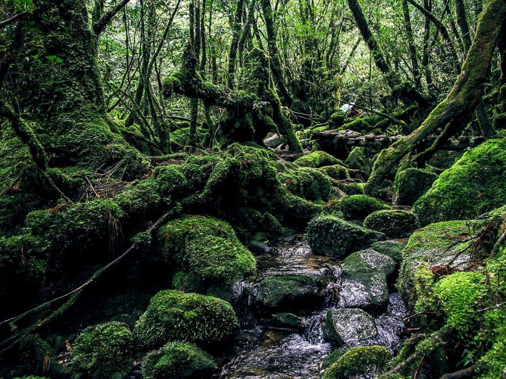 Yakushima Island Forest