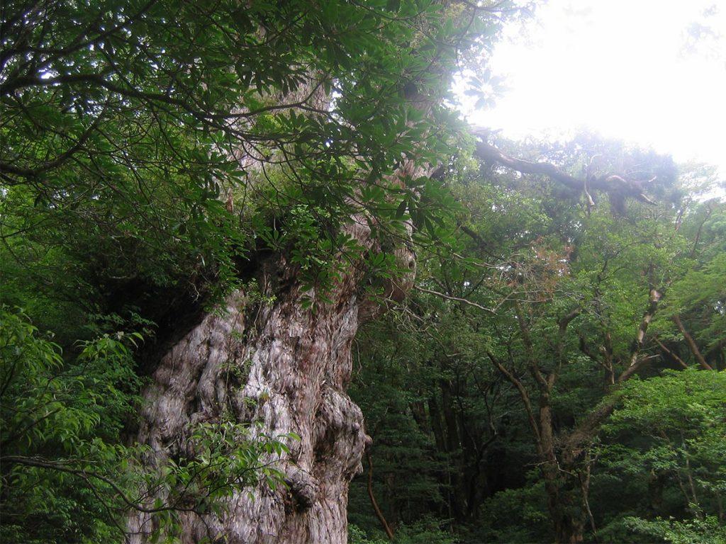 Yakushima Island Jomonsugi