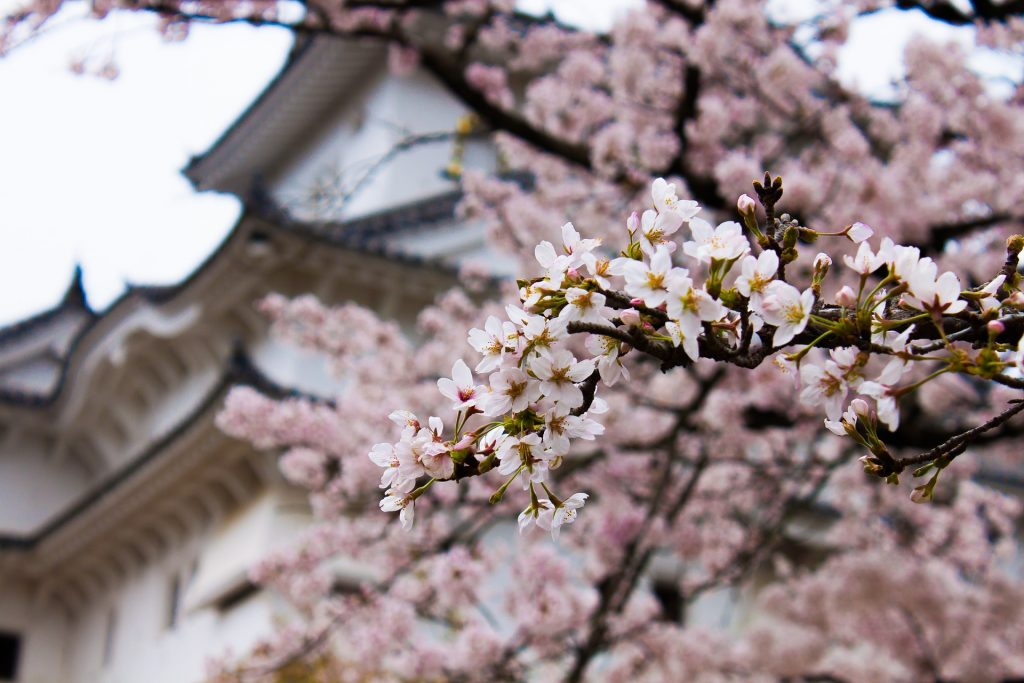 Best time to travel to Japan Sakura Temple