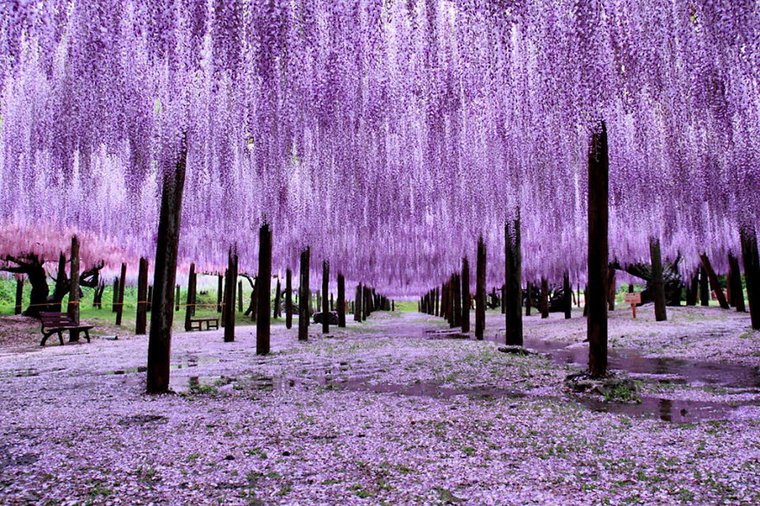 best time to travel to japan wisteria