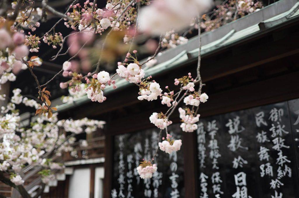 Cherry Blossom Festival Japan History