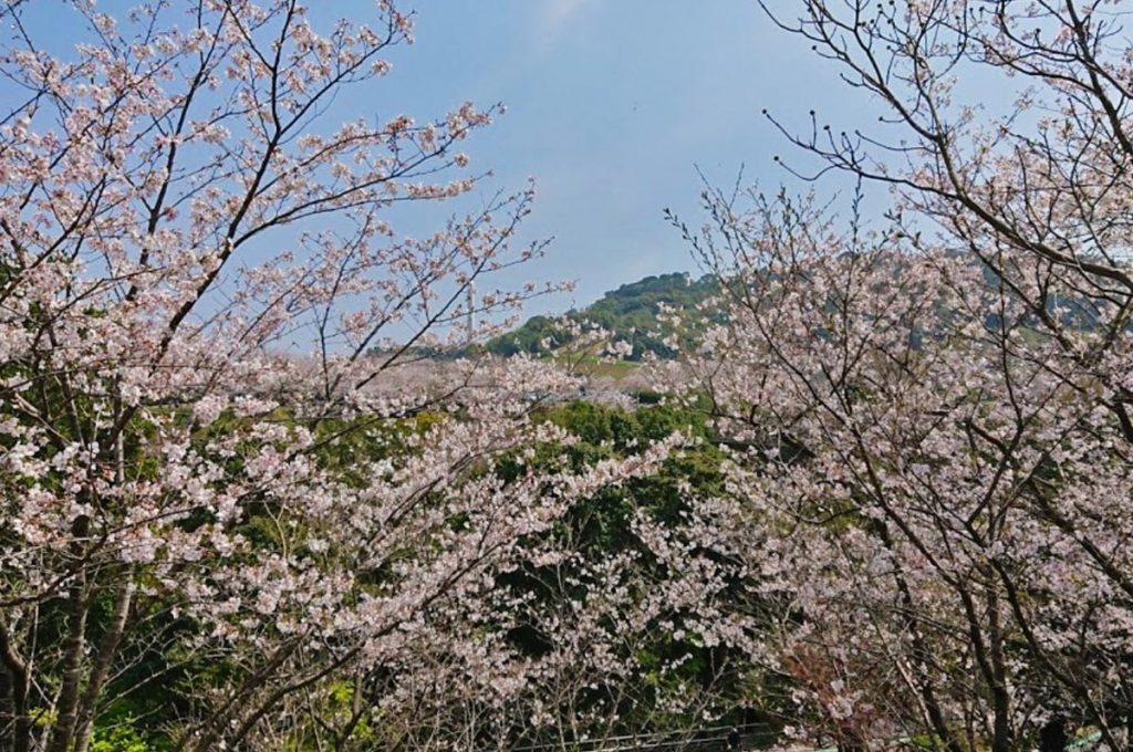 Cherry Blossom Festival Japan Hirakawa Zoo