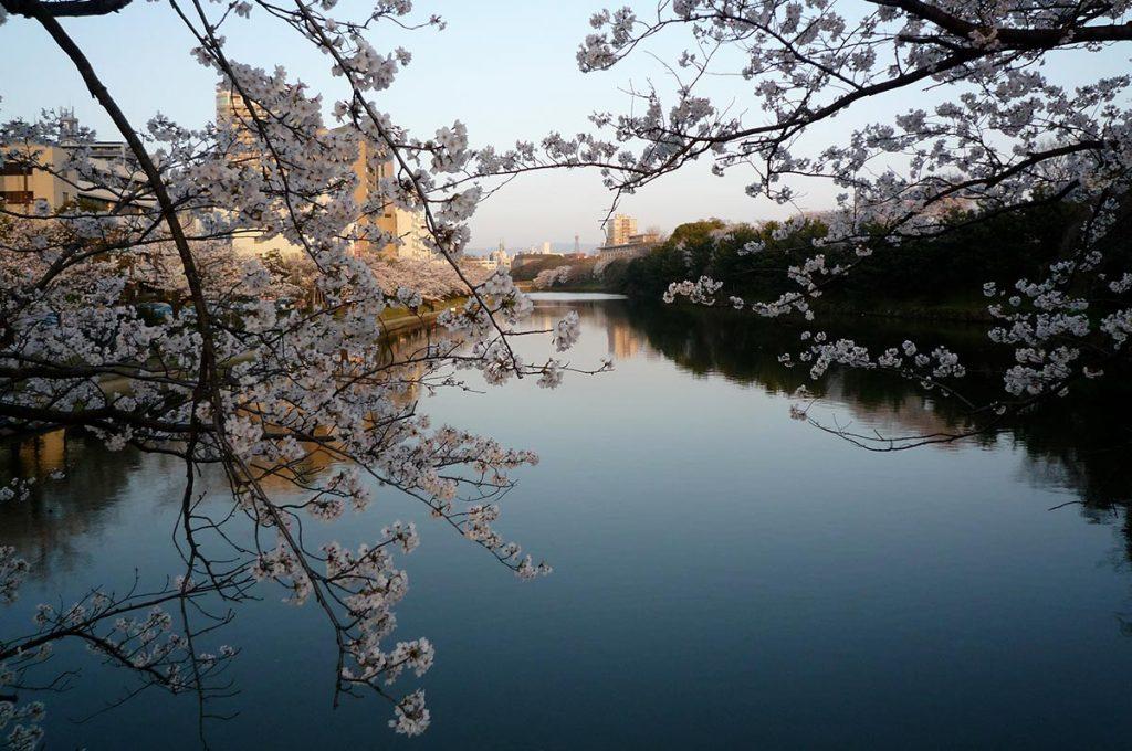 Cherry Blossom Festival Japan Fukuoka Castle