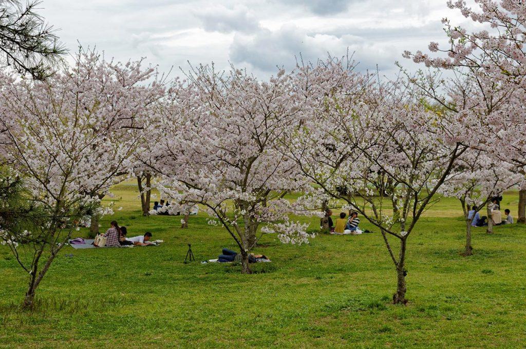 Cherry Blossom Festival Japan Uminonakamichi Seaside Park