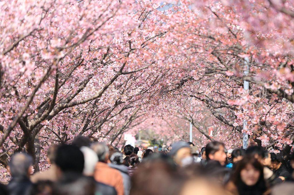 Cherry Blossom Festival Japan Hanami