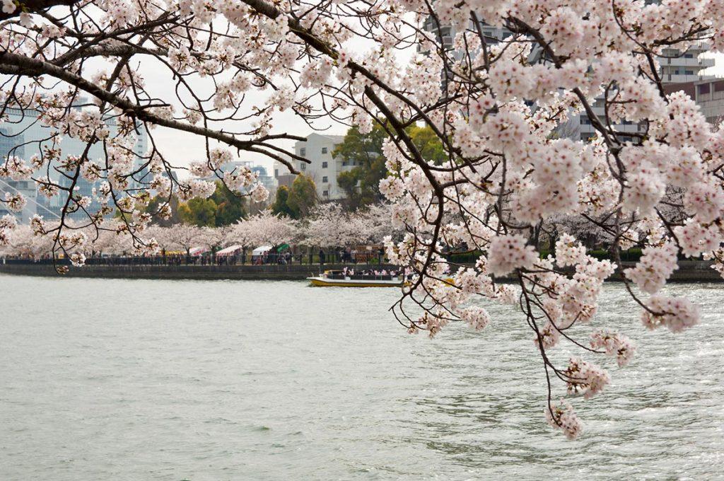 Cherry Blossom Festival Japan Kema Sakuranomiya Park