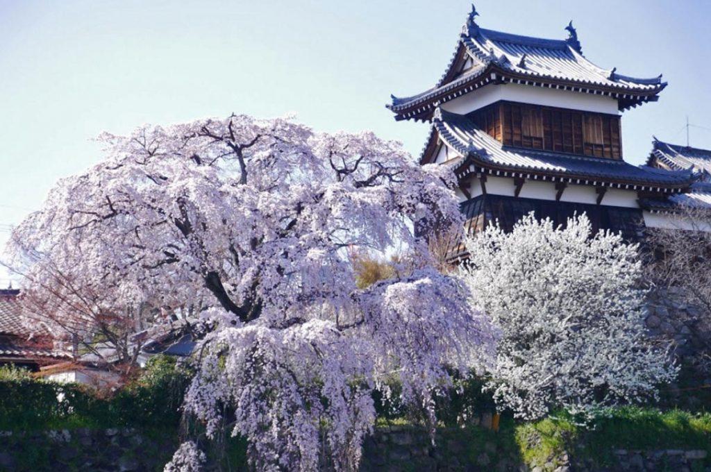 Cherry Blossom Festival Japan Koriyama Castle