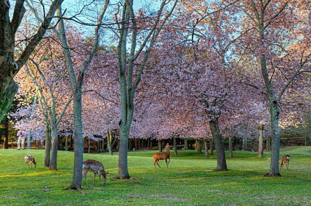 Cherry Blossom Festival Japan Nara Park