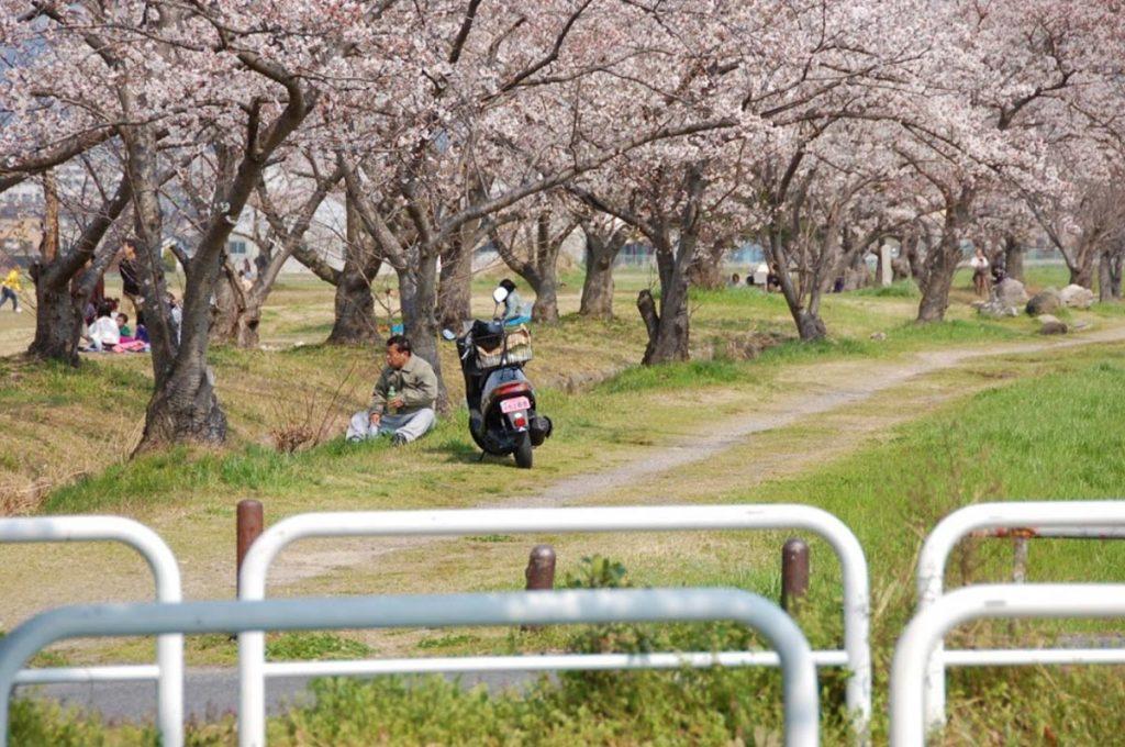 Cherry Blossom Festival Japan Heijokyu Ruins