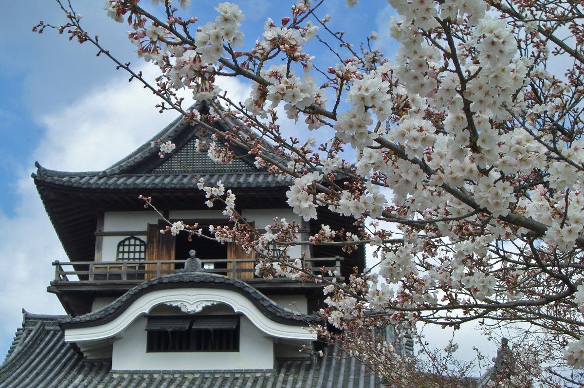 Cherry Blossom Festival Japan Inuyama Castle