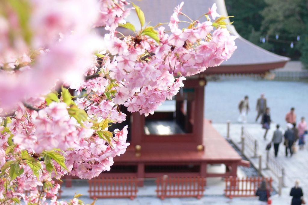Cherry Blossom Festival Japan Tsurugaoka Hachimangu Shrine