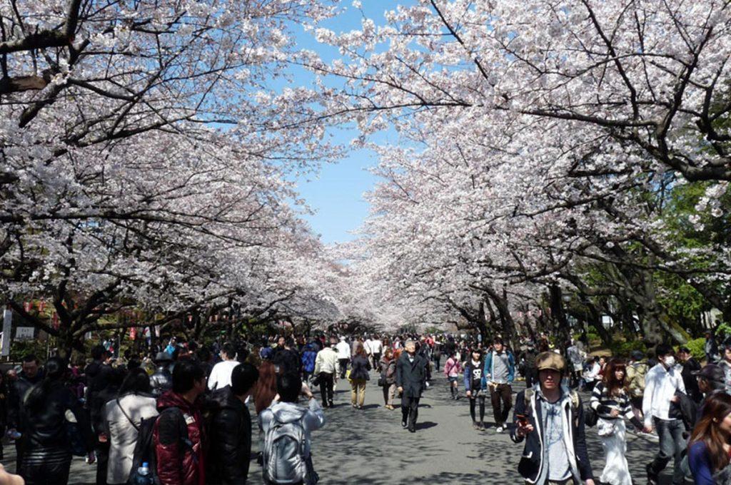 Cherry Blossom Festival Japan Ueno Park