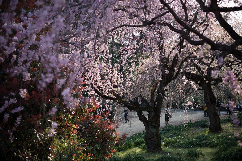 Cherry Blossom Festival Japan Shinjuku Gyoen