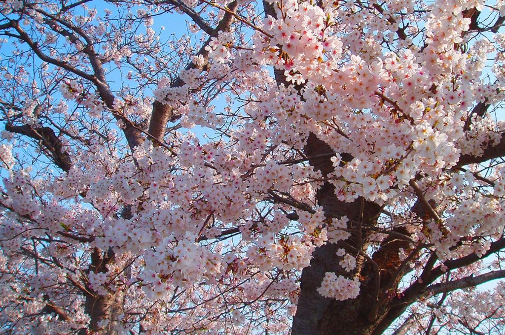 Cherry Blossom Festival Japan Sakura Tree