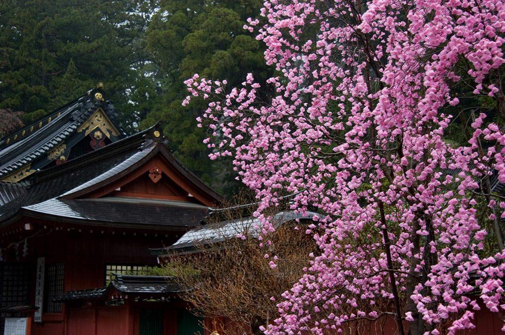 Cherry Blossom Festival Japan Nikko Futarasan Jinja Shrine