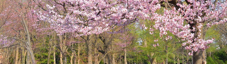 Cherry Blossom Festival Japan Maruyama Park