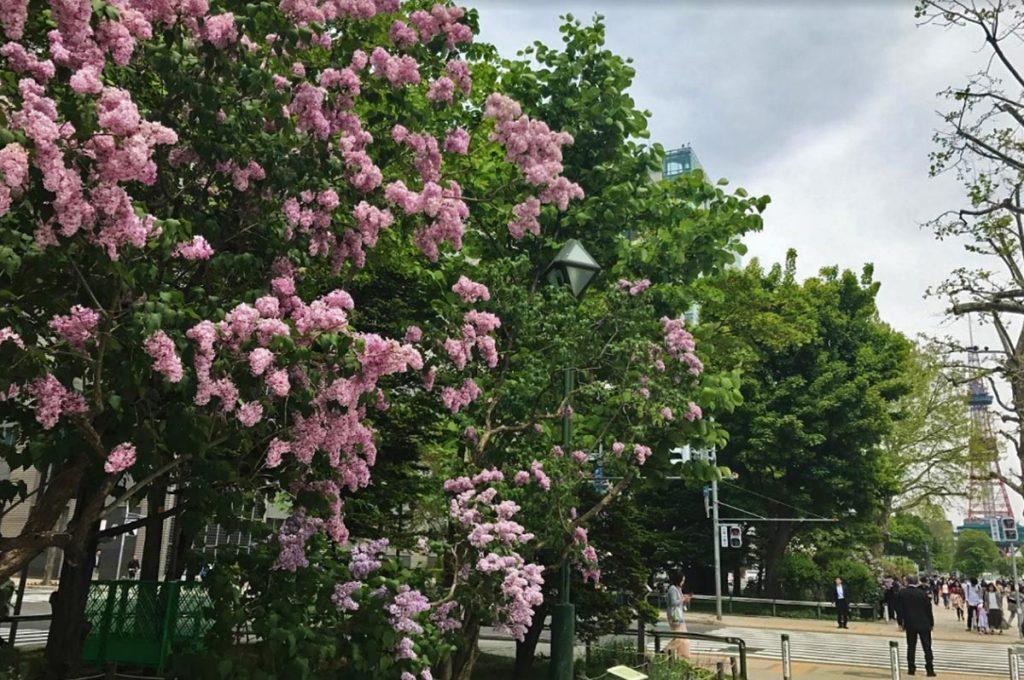 Cherry Blossom Festival Japan Odori Park