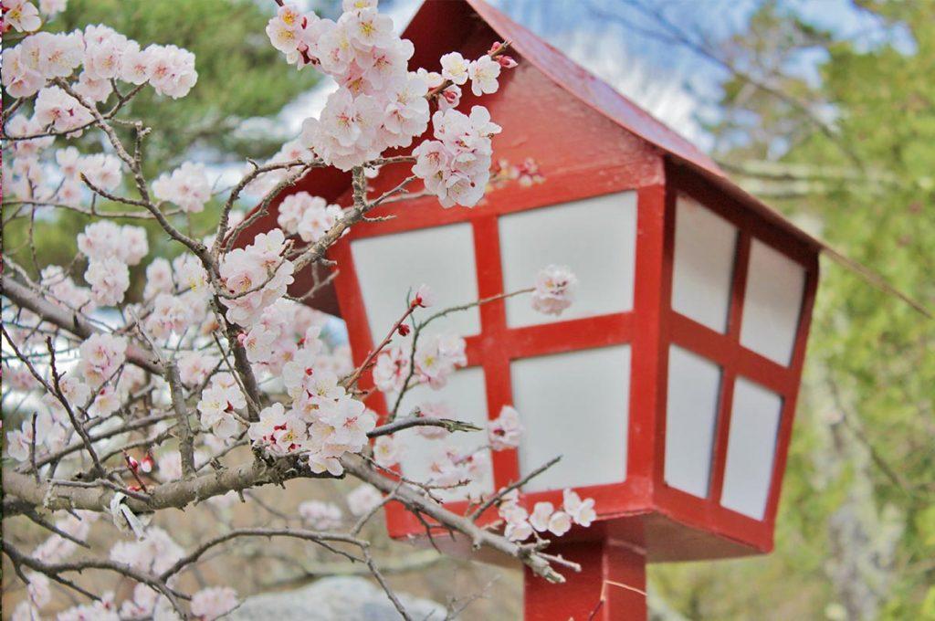 Cherry Blossom Festival Japan Sakura