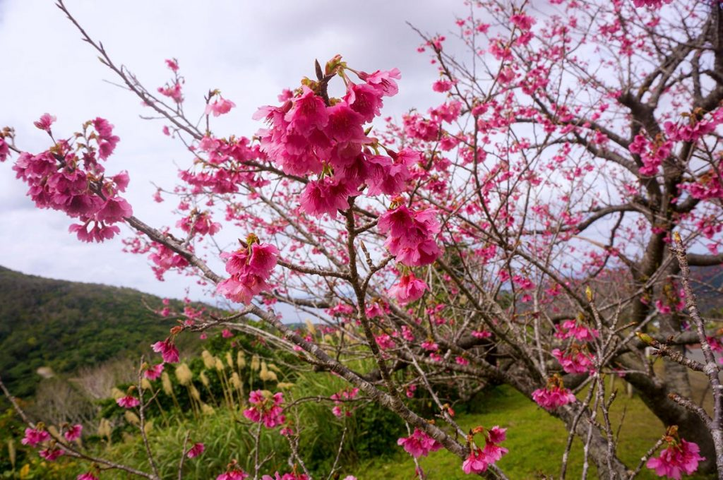 Cherry Blossom Festival Japan Okinawa