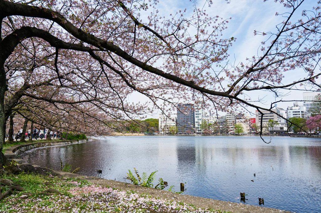 Cherry Blossom Festival Japan Tokyo
