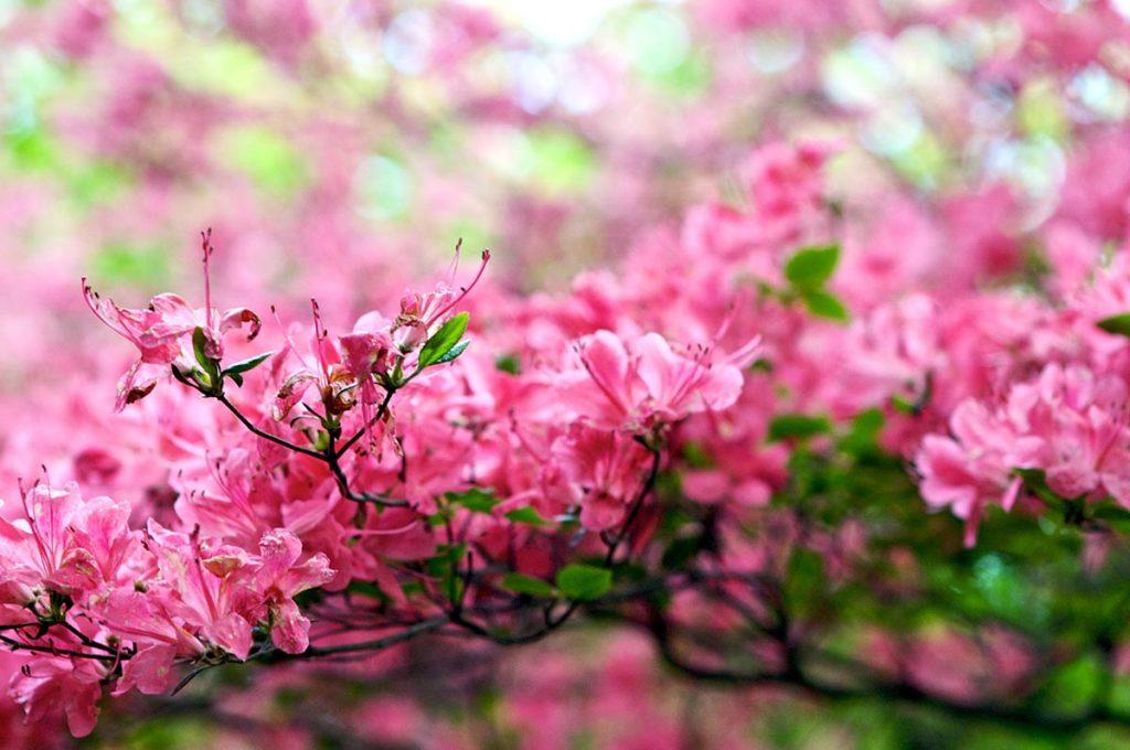 Cherry Blossom Festival Japan Nikko