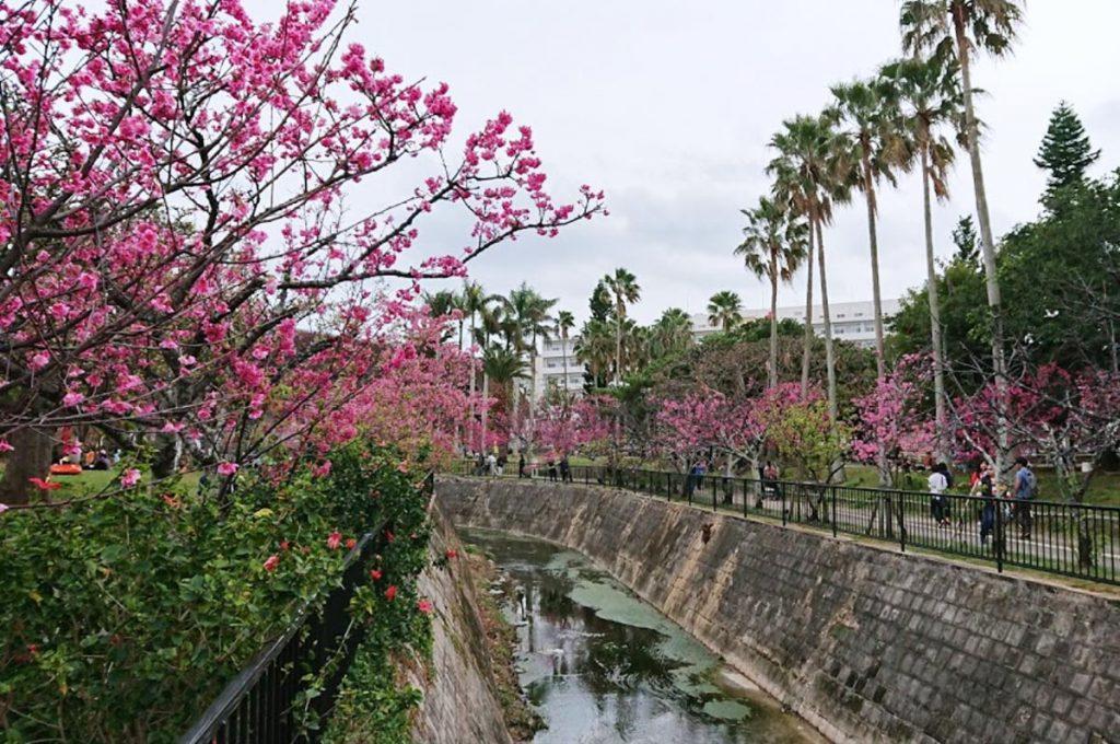 Cherry Blossom Festival Japan Yogi Park