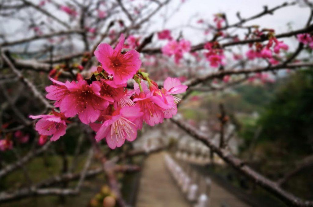 Cherry Blossom Festival Japan Yaese Park