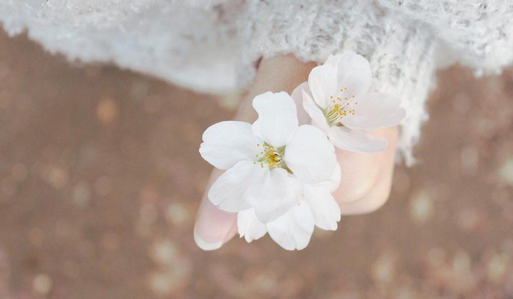 Japanese Manners Sakura