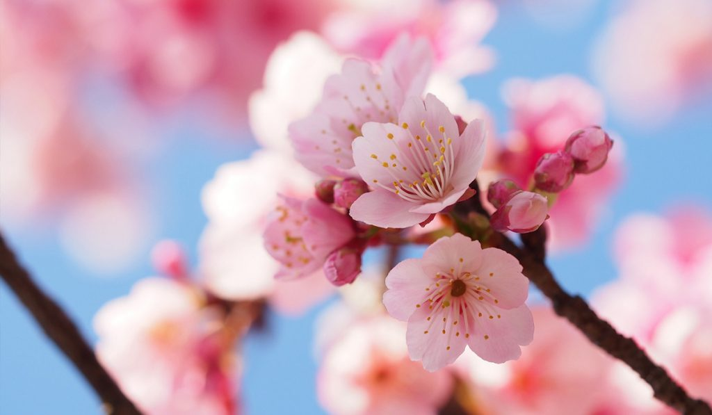 Things to do in Tokyo for free 12 Japanese Hanami