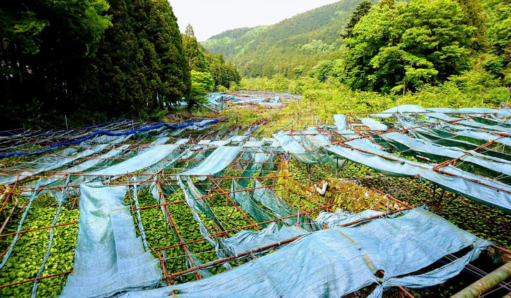 Things to do in Shizuoka Wasabi Fields