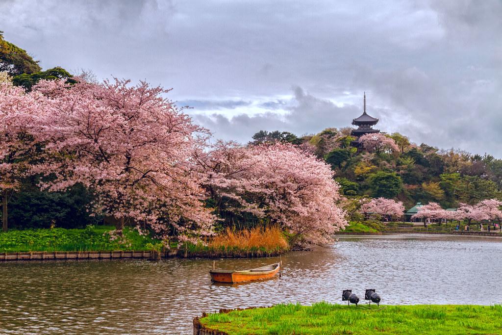 Sankeien cherry blossoms