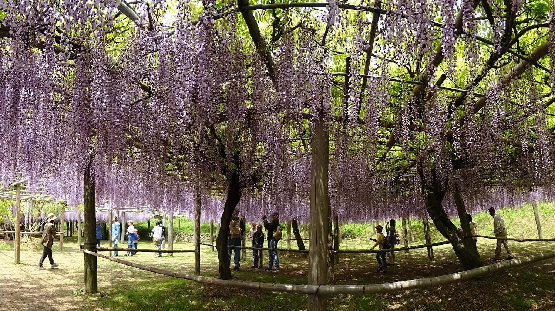 kawachi wisteria garden fukuoka