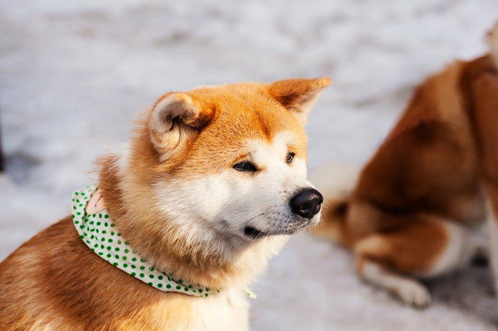 Akita Dog Visitor Centre