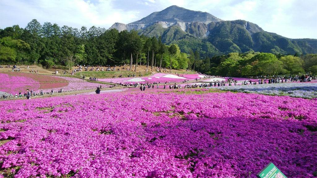 Hitsujiyama Park Moss Pink